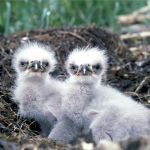 baby-eagles-527426_1280